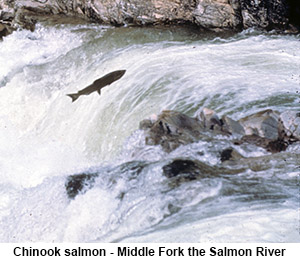 Chinook Salmon - Middle Fork of the Salmon River