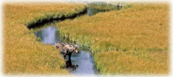 Moose in a meadow: a treat while floating a river